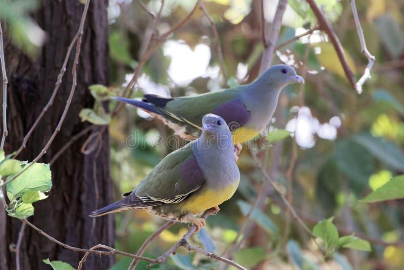 Ένα ζευγάρι του πράσινου waalia Treron περιστεριών του Bruce ` s σε ένα δέντρο στοκ εικόνες