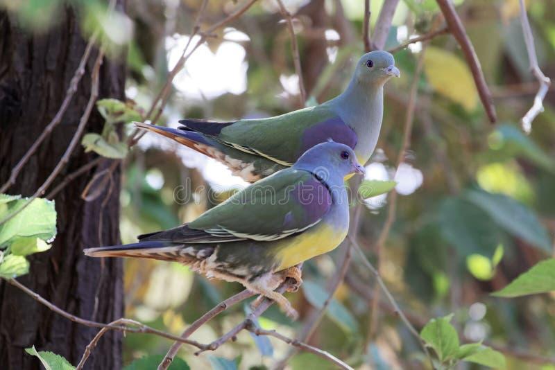 Ένα ζευγάρι του πράσινου waalia Treron περιστεριών του Bruce ` s σε ένα δέντρο στοκ φωτογραφίες με δικαίωμα ελεύθερης χρήσης