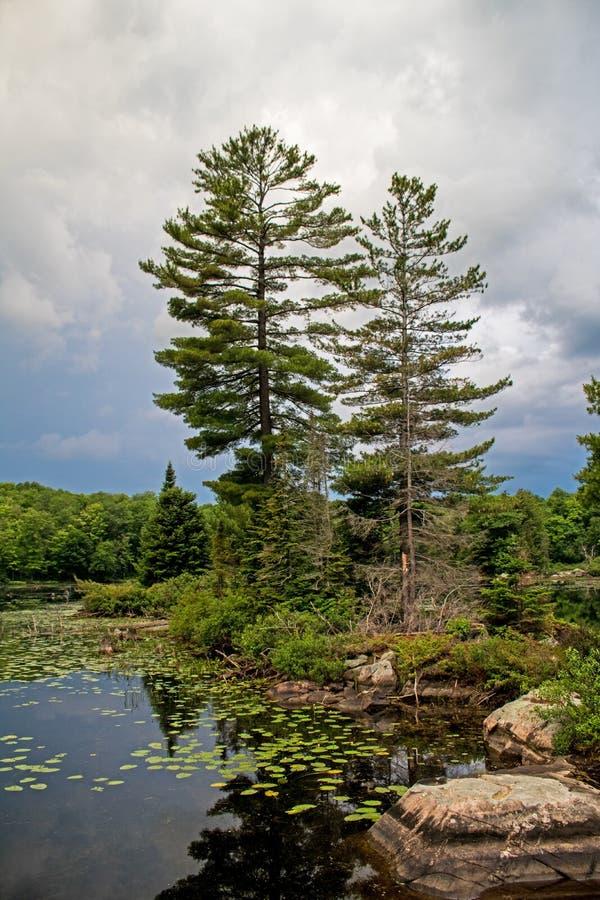 Ένα ζευγάρι των άσπρων δέντρων πεύκων σε ένα νησί βράχου στοκ εικόνα