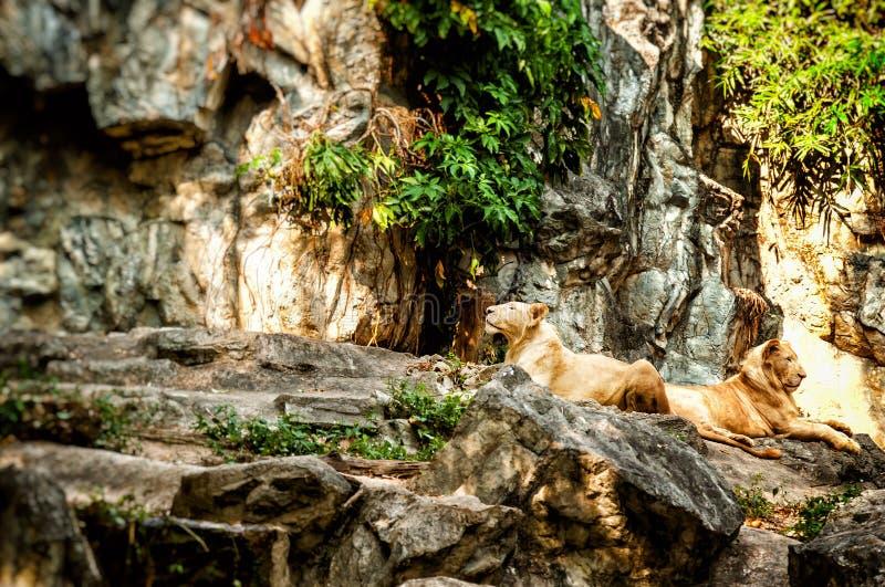 Ένα ζευγάρι των άσπρων λιονταριών που στηρίζεται στη σκιά του δέντρου στοκ εικόνα