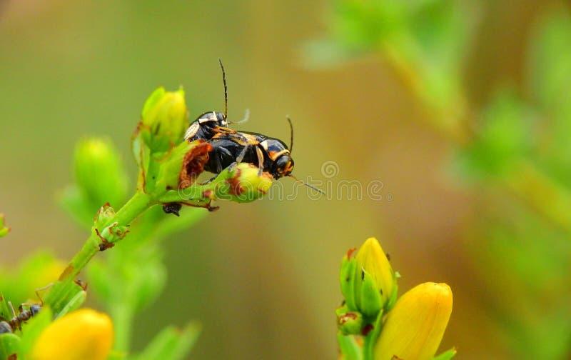 Ένα ζευγάρι των εντόμων σε έναν μίσχο λουλουδιών στοκ εικόνες με δικαίωμα ελεύθερης χρήσης
