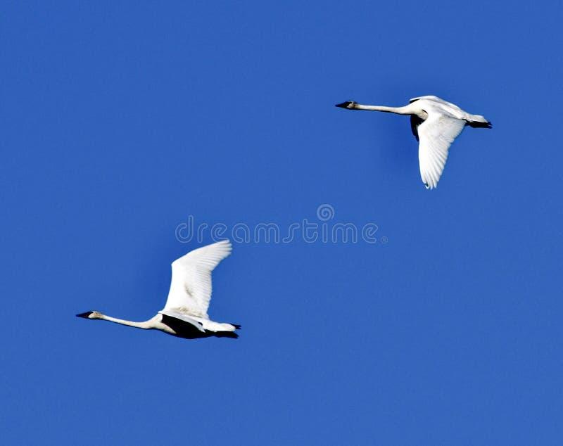 Ένα ζευγάρι των κύκνων κατά την πτήση 2 Trumpeter στοκ φωτογραφίες με δικαίωμα ελεύθερης χρήσης