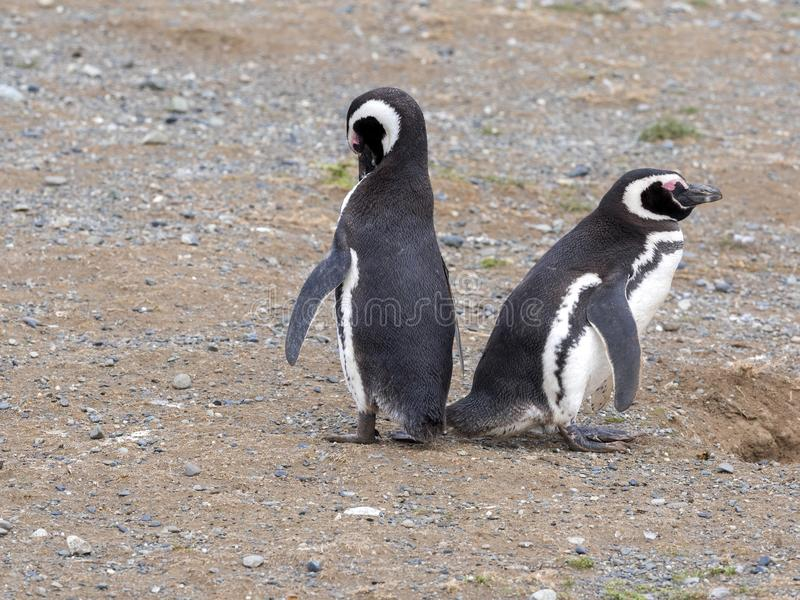 Ένα ζευγάρι Magellanic Penguin, magellanicus Spheniscus να τοποθετηθεί στα λαγούμια, Isla Magdalena, Παταγωνία, Χιλή στοκ εικόνα