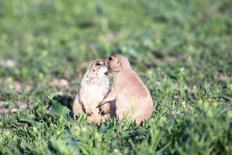 Ένα ζευγάρι Prairie Dog στο Πάρκο στοκ εικόνα