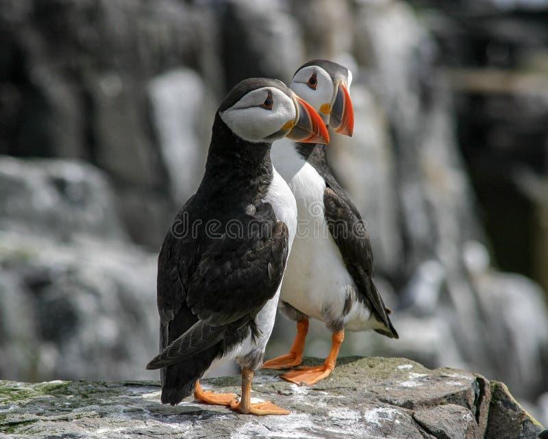 Ένα ζευγάρι Puffins στοκ εικόνα με δικαίωμα ελεύθερης χρήσης