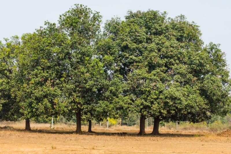Ένα ζεύγος της ινδικής στενής άποψης mahuwa δέντρων σε έναν αγροτικό τομέα που φαίνεται τρομερό στοκ εικόνα με δικαίωμα ελεύθερης χρήσης