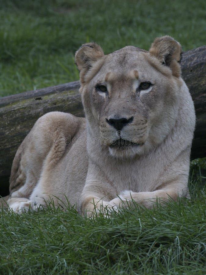 Ένα θηλυκό λιοντάρι που βρίσκεται στη χλόη στοκ εικόνες