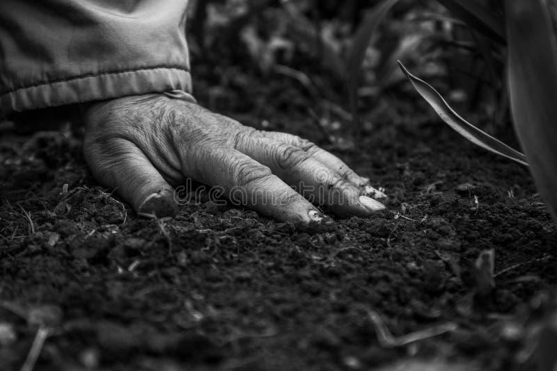 Ένα θηλυκό παλαιό χέρι στην χώμα-γη Κινηματογράφηση σε πρώτο πλάνο E Έννοια της παλαιάς ηλικία-νεολαίας, ζωή, υγεία, φύση στοκ φωτογραφίες με δικαίωμα ελεύθερης χρήσης