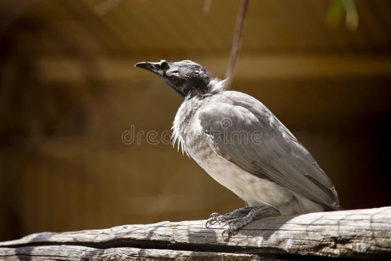 Ένα θορυβώδες friar πουλί στον κλάδο στοκ φωτογραφία