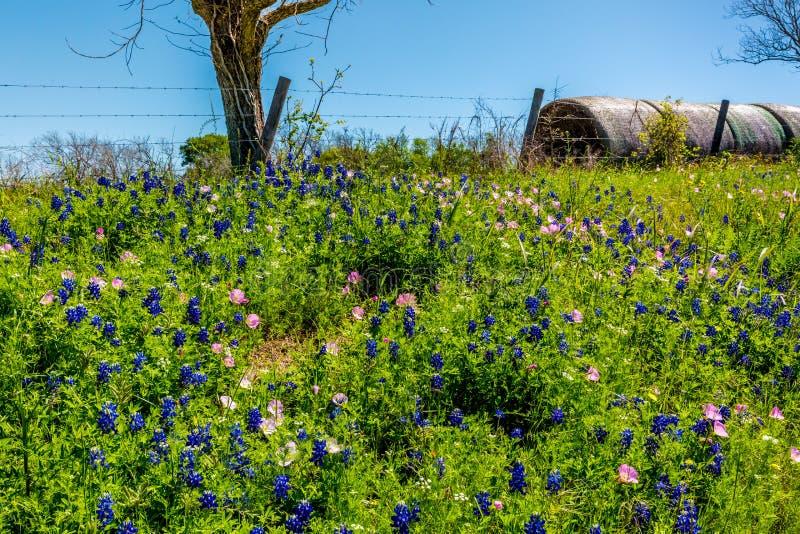 Ένα λιβάδι με τα στρογγυλά δέματα και το φρέσκο Τέξας Wildflowers σανού στοκ φωτογραφίες