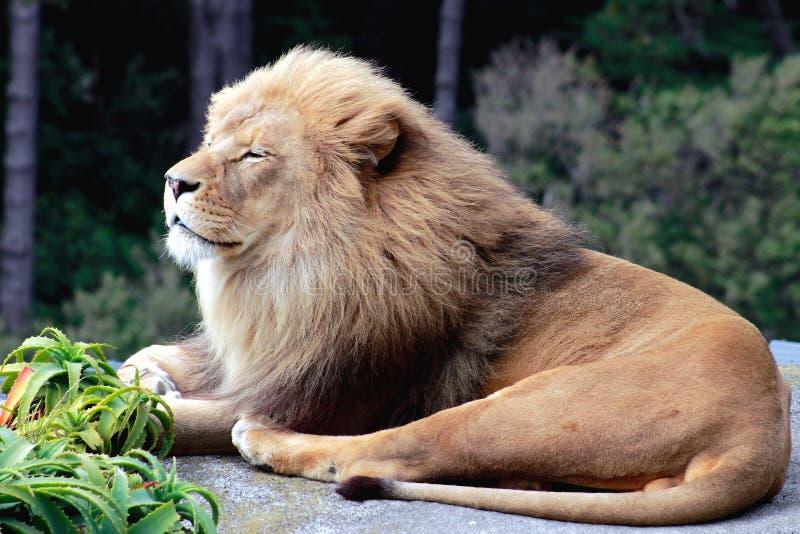 Ένα λιοντάρι χαμόγελου στοκ φωτογραφίες με δικαίωμα ελεύθερης χρήσης