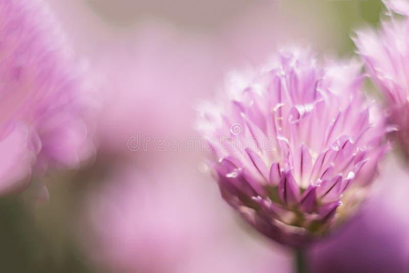 Ένα ιώδες λουλούδι, μακρο πυροβολισμός, θερινή ηλιόλουστη ημέρα r μαλακή εστίαση, bokeh, διάστημα για το κείμενο στοκ φωτογραφία με δικαίωμα ελεύθερης χρήσης