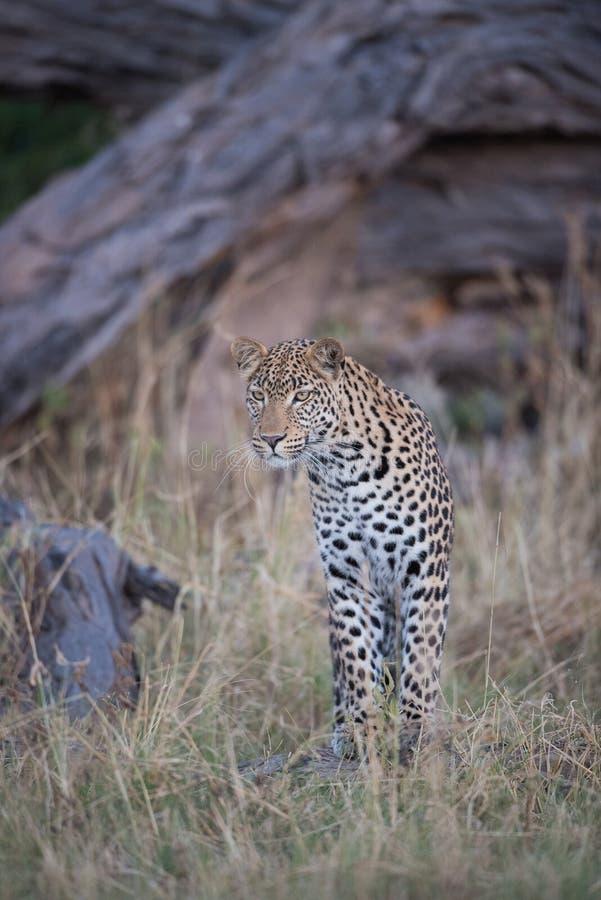 Ένα κάθετο, πλήρες μήκος, εικόνα χρώματος μιας νέας λεοπάρδαλης, Panthe στοκ φωτογραφίες με δικαίωμα ελεύθερης χρήσης