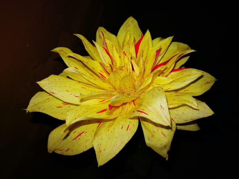 ένα κίτρινο λουλούδι στοκ φωτογραφίες με δικαίωμα ελεύθερης χρήσης
