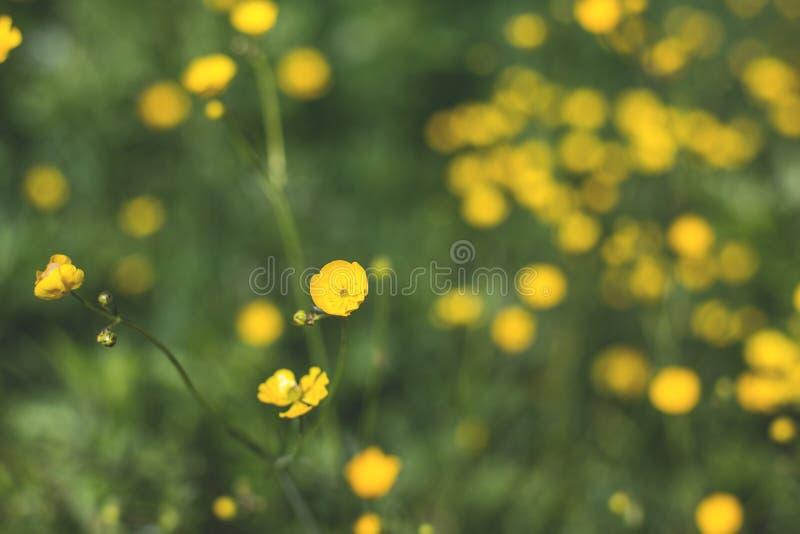 Ένα κίτρινο υπόβαθρο λουλουδιών της νεραγκούλας - λατινικά: Bulbosus βατραχίων στοκ φωτογραφία με δικαίωμα ελεύθερης χρήσης