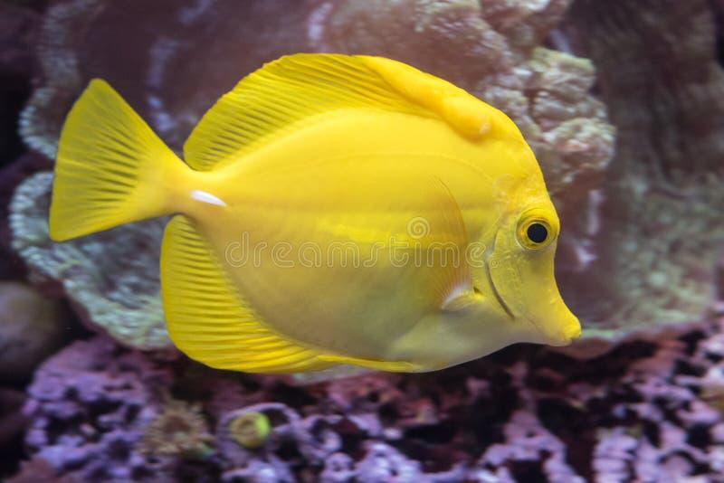 Ένα κίτρινο ψάρι του Tang στοκ εικόνες