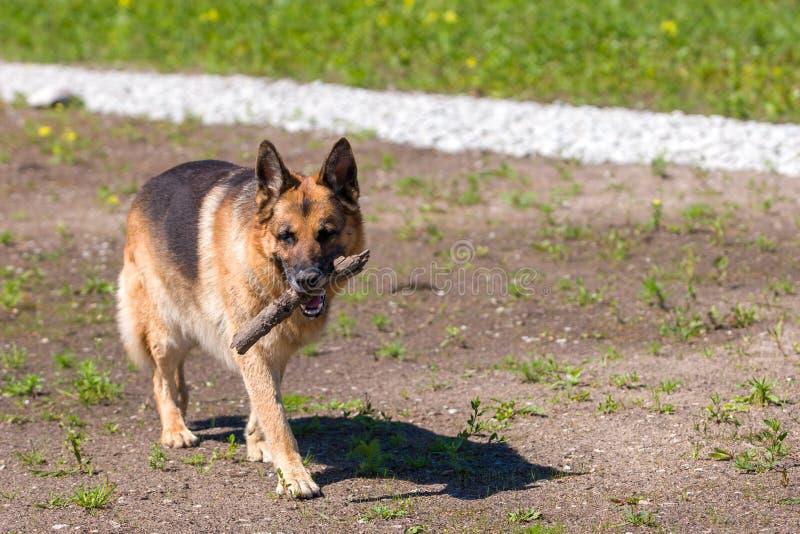 Ένα καφετί και μαύρο γερμανικό σκυλί ποιμένων φέρνει κουρασμένα ένα ραβδί στο στόμα του στοκ εικόνα με δικαίωμα ελεύθερης χρήσης