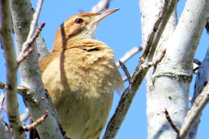 Ένα καφετί πουλί σε έναν κλάδο με έναν μπλε ουρανό στοκ εικόνες