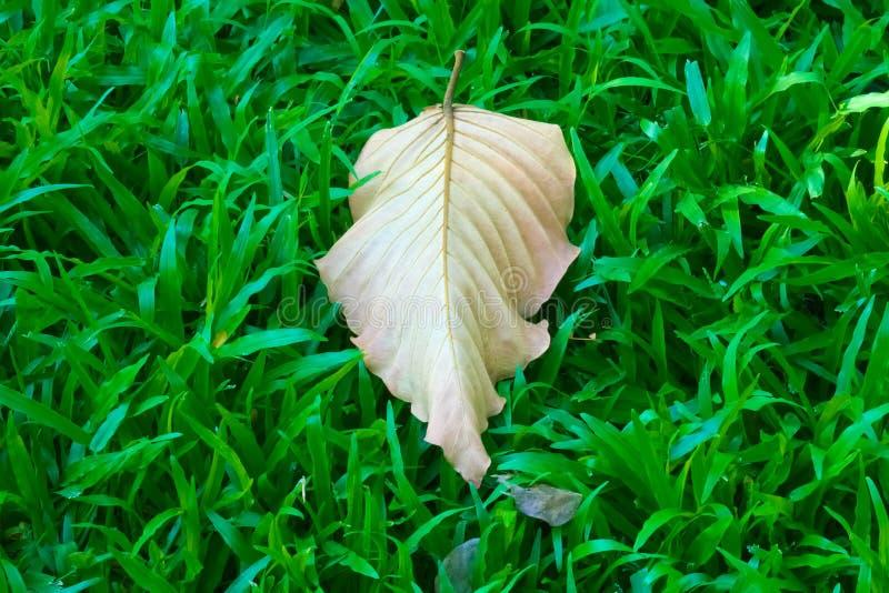 Ένα κεντροθετημένο, πεσμένο, ξηρό φύλλο, χάνοντας τα χρώματά του, και την πράσινη χλωροφύλλη, ενώ επάνω σε ένα πολύβλαστο χλοώδης στοκ εικόνες