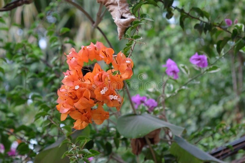 Ένα κλαδί από μικρά πορτοκαλί τροπικά άνθη Φωτεινά λουλούδια στοκ εικόνα με δικαίωμα ελεύθερης χρήσης
