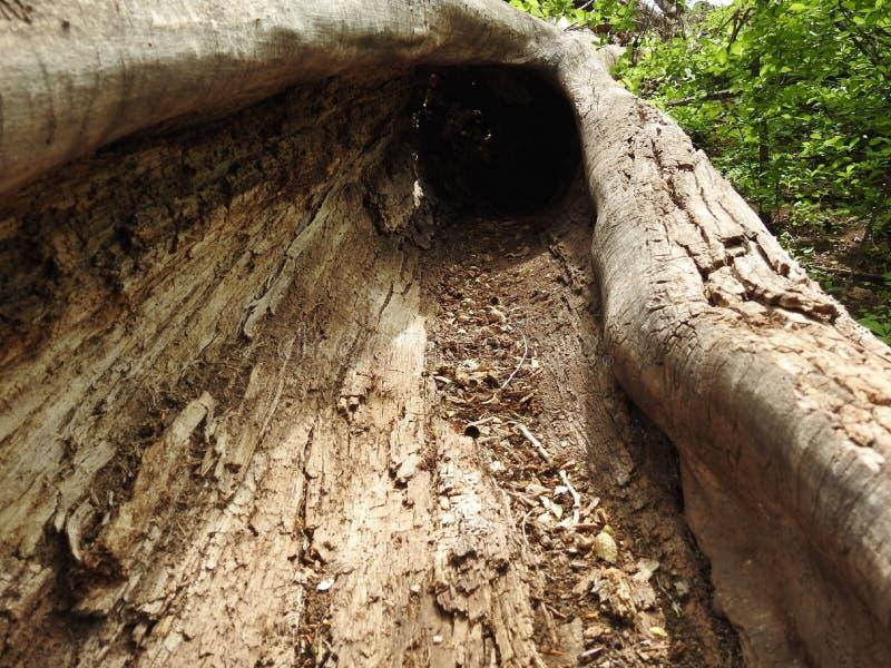 Ένα κοιλαμένο έξω πεσμένο δέντρο στοκ φωτογραφία με δικαίωμα ελεύθερης χρήσης