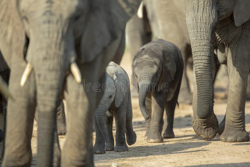 Ένα κοπάδι αναπαραγωγής του ελέφαντα στοκ εικόνα με δικαίωμα ελεύθερης χρήσης