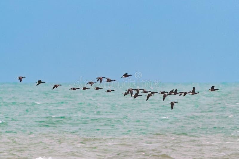 Ένα κοπάδι της σκοτεινός-διογκωμένης μετανάστευσης χήνων του Brent στοκ φωτογραφίες με δικαίωμα ελεύθερης χρήσης