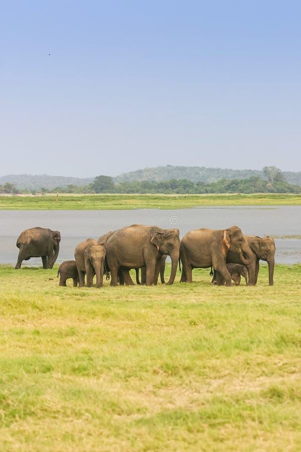 Ένα κοπάδι του ελέφαντα Sri Lankan στοκ εικόνες