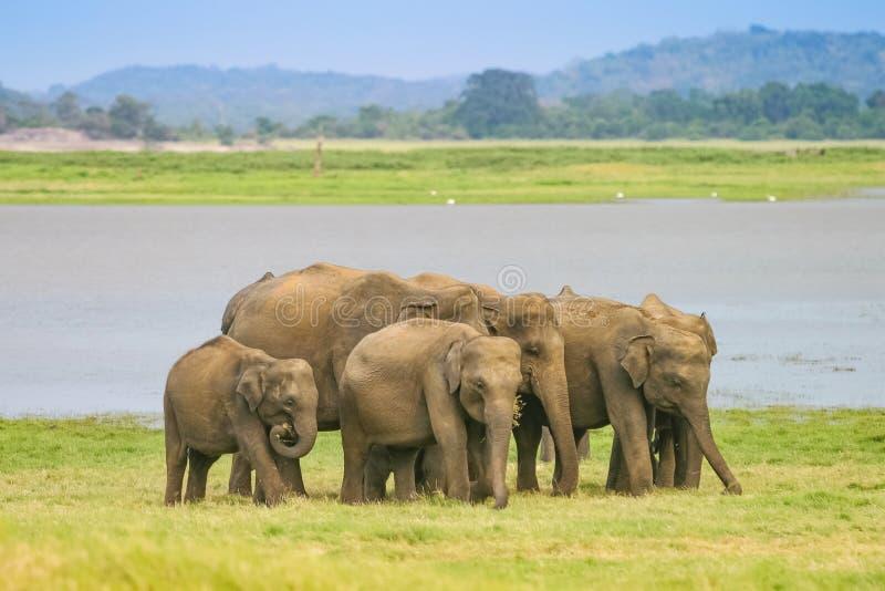 Ένα κοπάδι του ελέφαντα Sri Lankan στοκ εικόνα