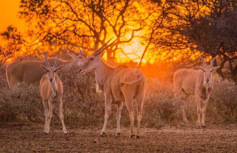 Ένα κοπάδι του taurotragus ταυροτραγών oryx σύλλεξε γύρω από τους θάμνους κάτω από ένα έντονο πορτοκαλί ηλιοβασίλεμα στοκ εικόνα με δικαίωμα ελεύθερης χρήσης