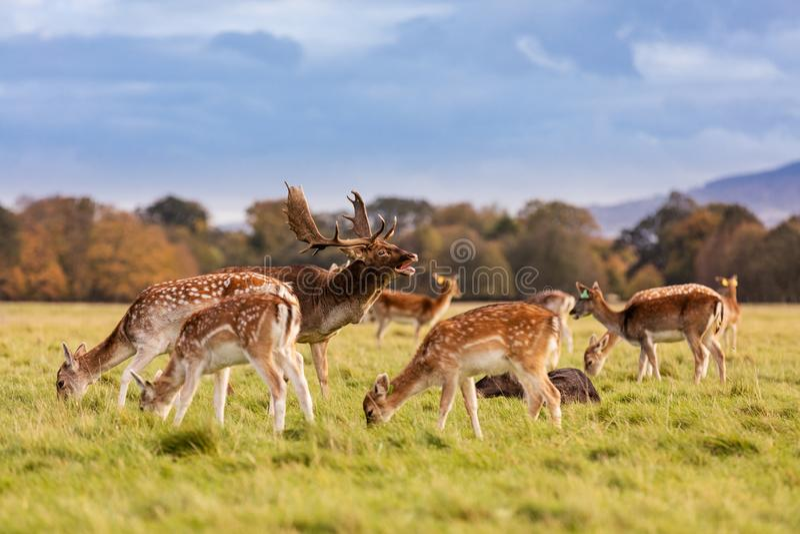 Ένα κοπάδι των άγριων ελαφιών στο πάρκο του Phoenix, Δουβλίνο, Ιρλανδία στοκ εικόνα με δικαίωμα ελεύθερης χρήσης