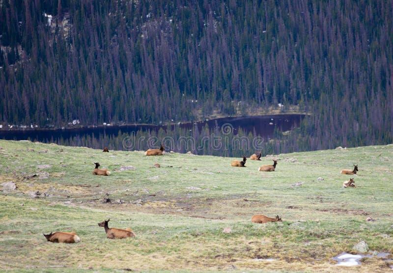 Ένα κοπάδι των αλκών που βόσκουν σε ένα αλπικό λιβάδι στο δύσκολο εθνικό πάρκο βουνών στο Κολοράντο στοκ εικόνες με δικαίωμα ελεύθερης χρήσης