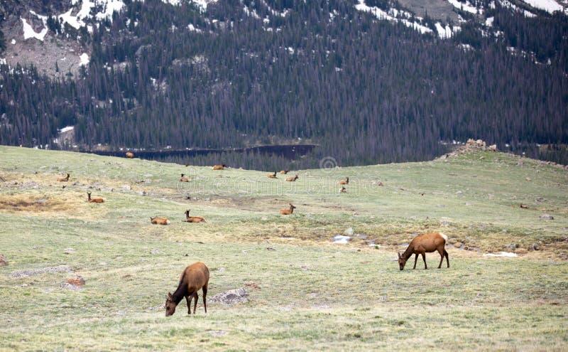 Ένα κοπάδι των αλκών που βόσκουν σε ένα αλπικό λιβάδι στο δύσκολο εθνικό πάρκο βουνών στο Κολοράντο στοκ φωτογραφία