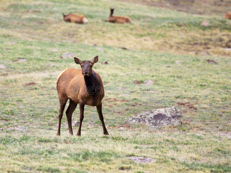 Ένα κοπάδι των αλκών που βόσκουν σε ένα αλπικό λιβάδι στο δύσκολο εθνικό πάρκο βουνών στο Κολοράντο στοκ εικόνα με δικαίωμα ελεύθερης χρήσης