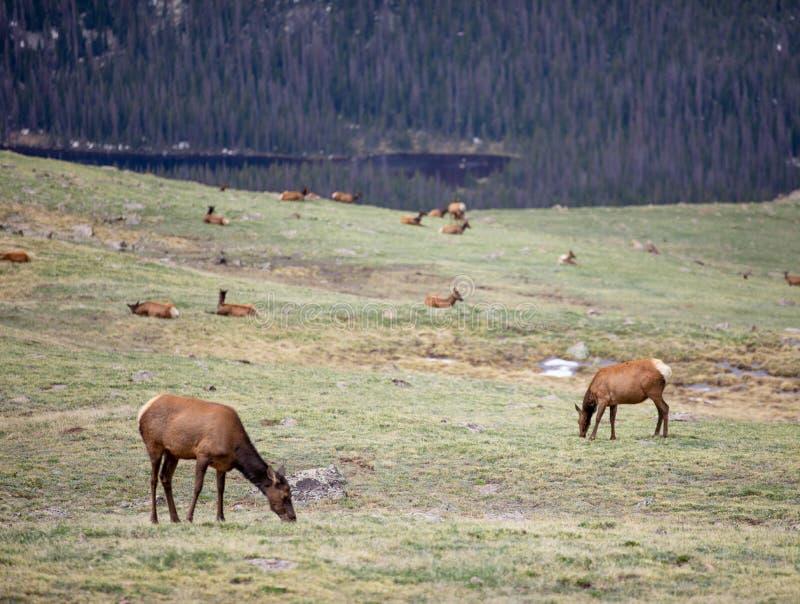 Ένα κοπάδι των αλκών που βόσκουν σε ένα αλπικό λιβάδι στο δύσκολο εθνικό πάρκο βουνών στο Κολοράντο στοκ φωτογραφίες