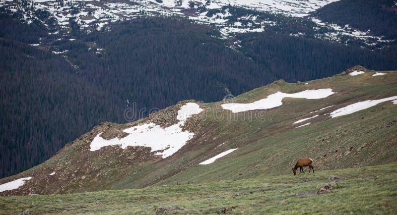 Ένα κοπάδι των αλκών που βόσκουν σε ένα αλπικό λιβάδι στο δύσκολο εθνικό πάρκο βουνών στο Κολοράντο στοκ εικόνες