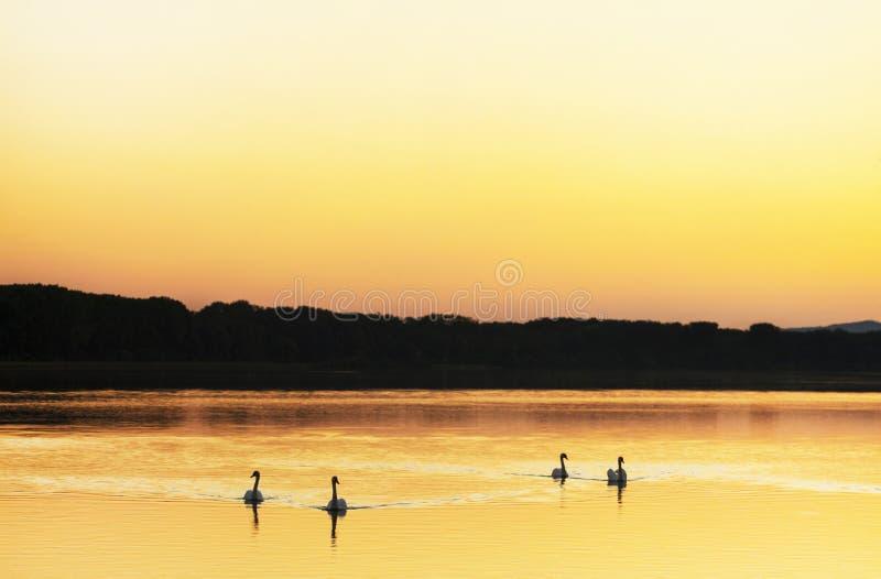 Ένα κοπάδι των βουβόκυκνων που κολυμπούν στον ποταμό Δούναβη στο ηλιοβασίλεμα στοκ εικόνες