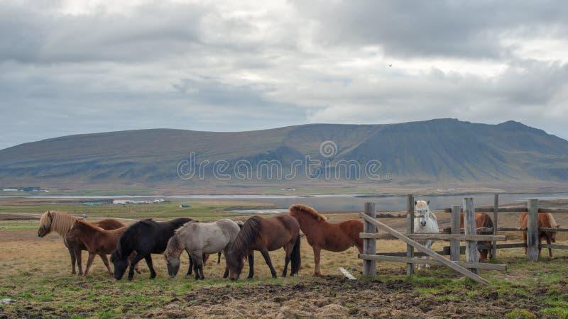 Ένα κοπάδι των ισλανδικών αλόγων που τρώνε τη χλόη με το μεγάλο βουνό στοκ φωτογραφία με δικαίωμα ελεύθερης χρήσης