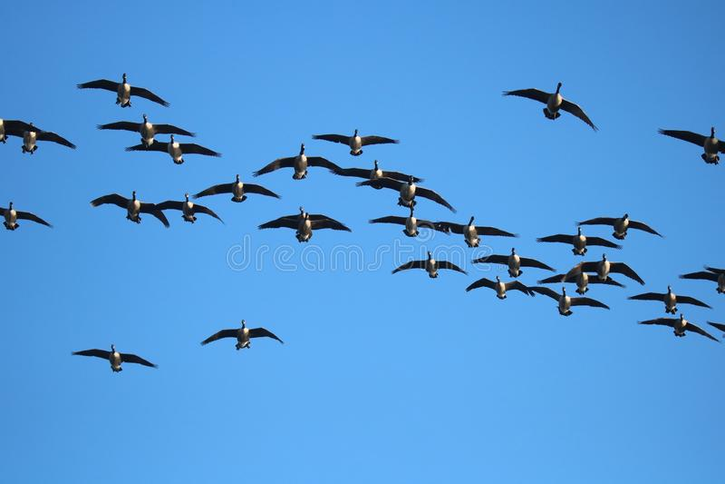 Ένα κοπάδι των καναδοχηνών που πετούν το χειμώνα στοκ φωτογραφία με δικαίωμα ελεύθερης χρήσης