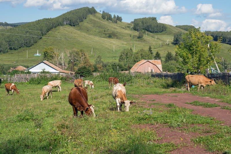 Ένα κοπάδι των κόκκινων αγελάδων που βόσκουν στην οδό στο χωριό, ενάντια στο σκηνικό των δασωδών βουνών στοκ εικόνα