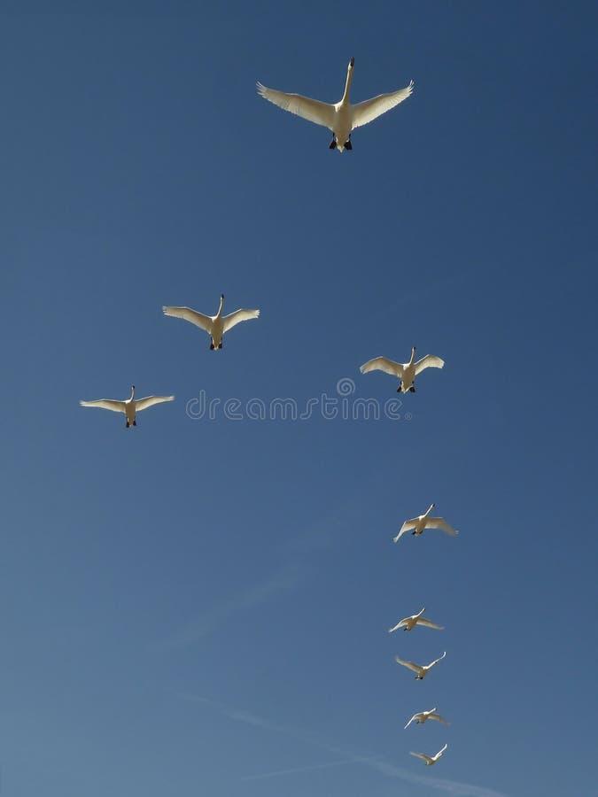 Ένα κοπάδι των κύκνων πετά μέσω ενός όμορφου μπλε ουρανού στοκ εικόνα με δικαίωμα ελεύθερης χρήσης