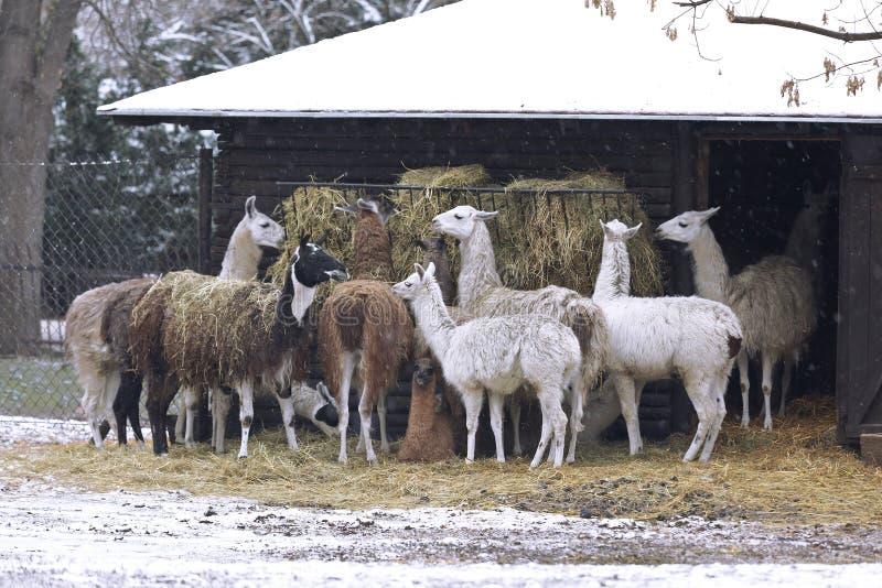 Ένα κοπάδι των λάμα τρώει το σανό το χειμώνα στοκ φωτογραφίες με δικαίωμα ελεύθερης χρήσης