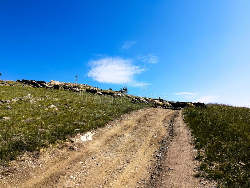 Ένα κοπάδι των προβάτων τρέχει πέρα από το δρόμο στη στέπα στοκ φωτογραφία με δικαίωμα ελεύθερης χρήσης