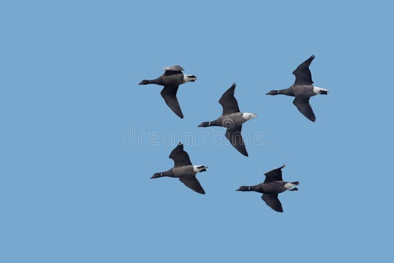 Ένα κοπάδι των σκοτεινός-διογκωμένων χήνων του Brent που πετούν ενάντια σε έναν μπλε ουρανό στοκ φωτογραφίες με δικαίωμα ελεύθερης χρήσης