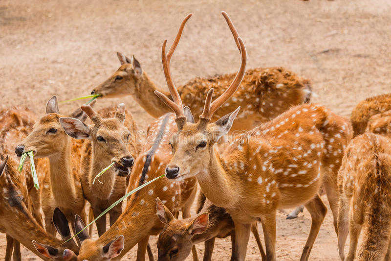Ένα κοπάδι επισημασμένου Deers στο αγρόκτημα στοκ εικόνες