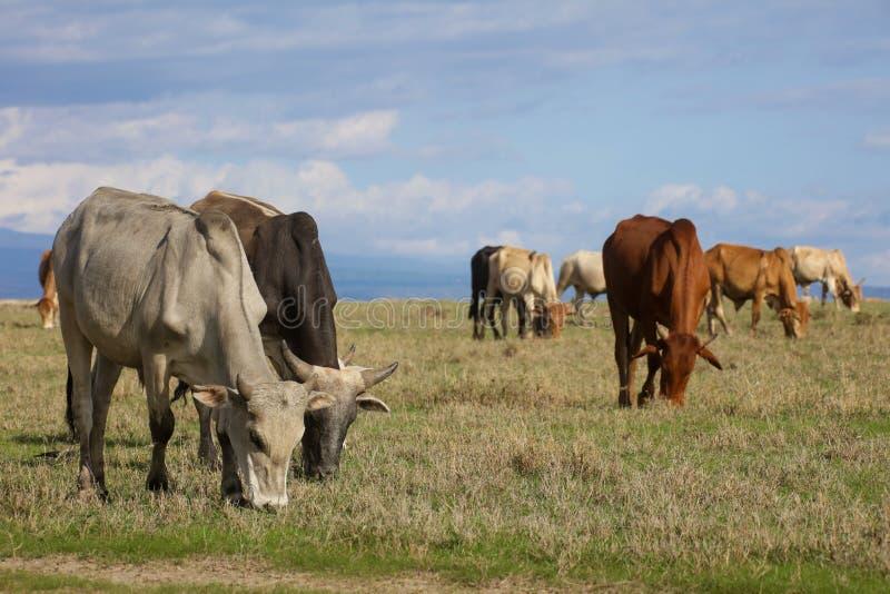 Ένα κοπάδι της βοσκής βοοειδών boran στοκ φωτογραφία με δικαίωμα ελεύθερης χρήσης