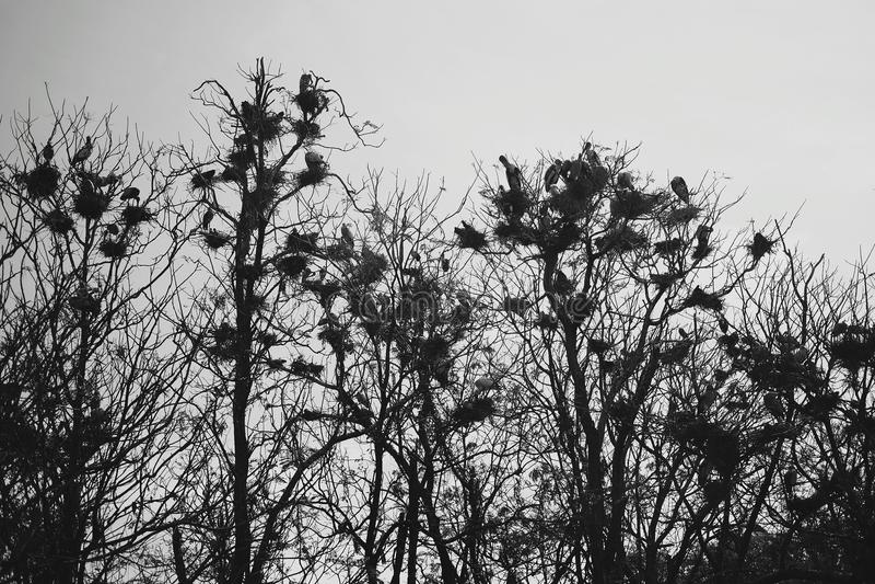 Ένα κοπάδι των κοράκων που κάθονται στο δέντρο διακλαδίζεται στοκ φωτογραφίες