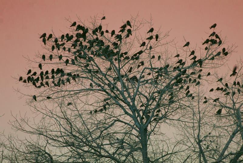 Ένα κοπάδι των κοράκων τοποθετείται σε ένα δέντρο στοκ εικόνες