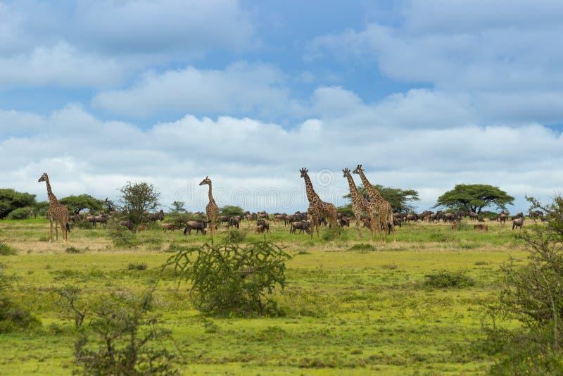 Ένα κοπάδι giraffes και ο πιό wildebeest στοκ φωτογραφίες με δικαίωμα ελεύθερης χρήσης