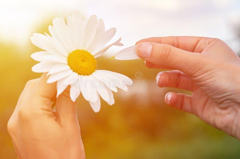 Ένα κορίτσι κρατά chamomile διαθέσιμο Η μεγάλη άσπρη Daisy με την κίτρινη κόσμος-διάσημη θέση Έννοια υγείας και ομορφιάς στοκ φωτογραφία με δικαίωμα ελεύθερης χρήσης
